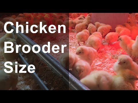 Chicken Brooder Size and Space