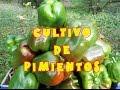 Cultivo de pimientos en el huerto