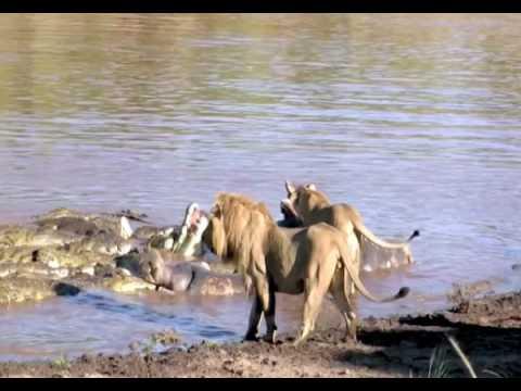 Lions Battle Crocs Part 2