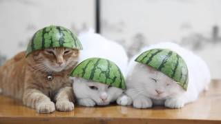 Cat With Watermelon - LOL