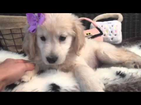 SO SWEET AND LOVING GOLDEN RETRIEVER PUPPY!