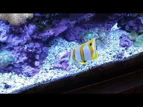 Onlytono 39 s onlytono 39 s 50 gallon for Aiptasia eating fish