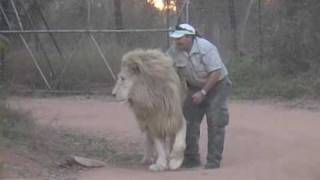Video Man Attacks Lion and tickles his Nuts!! MP3, 3GP, MP4, WEBM, AVI, FLV Mei 2017