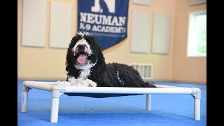 Brandi (Berenedoodle) graduated from the dog training boot camp at Neuman K-9 Academy. This program included obedience commands to sit, stay, heel or walk on a loose leash, come when called, proper etiquette, no jumping up, meeting and greeting people under control, and running on a treadmill.Our dog training camp provides programs for the Berenedoodle such as boot camp, obedience training, and puppy camp.Neuman K-9 Academy is a professional canine training school that provides board and train (inboard) for dogs, and fully trained dogs for sale.For more information visit: www.mndogtraining.comLocated in Hugo Minnesota just north of Minneapolis and St. Paul (MN).