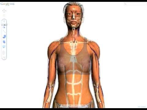 google body browser - This is an early preview (no sound!) of Body Browser from google. Body Browser is a detailed 3D model of the human body. You can peel back anatomical layers,...