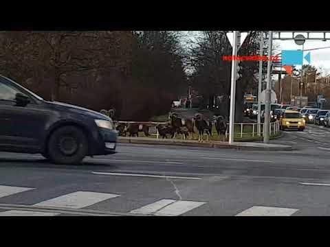 Mufloni přechází křižovatku na zelenou u Thomayerovy nemocnice.