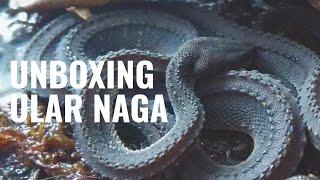 Video Unboxing Ular Naga! | Xenodermus Javanicus MP3, 3GP, MP4, WEBM, AVI, FLV Mei 2019