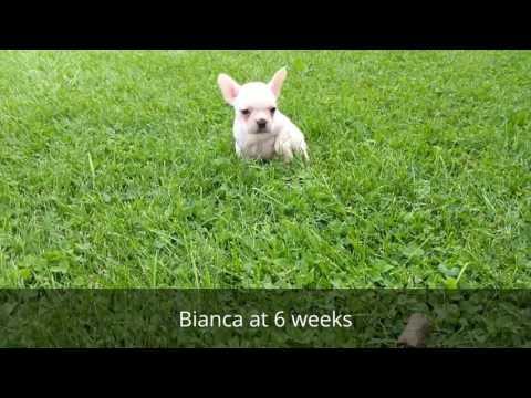 Bianca - French Bulldog Ohio