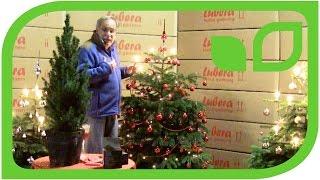 Der schönste Christbaum - die Nordmannstanne