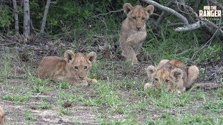 The cubs of the Othawa pride were having fun here.Filmed at Idube Game Reserve in the Sabi Sand Wildtuin, Greater Kruger National Park, South Africa (http://www.idube.com/static)Filmed in 4K UHD resolution using the Sony AX100 video cameraSubscribe for more great wildlife clips: http://goo.gl/VdOHuSFollow #nowfilming on social networks for LIVE photo updatesROB THE RANGER WILDLIFE VIDEOS on Social Networks:TWITTER: http://goo.gl/U8IQGfBLOG: http://goo.gl/yJJ3pTFACEBOOK: http://goo.gl/M8pnJhGOOGLE+: http://gplus.to/robtherangerTUMBLR: http://goo.gl/qF6sNS#YouTubeZA#YouTubeSSA#SAYouTubers