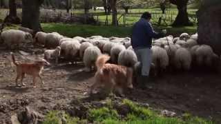 Bidegoian Spain  City new picture : Spain: Basque Herding Dogs & Sheep