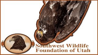 Golden Eagle Rescued and Released!
