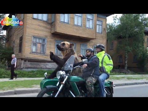 Байкеры прокатили медведя на мотоцикле