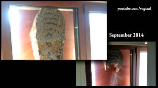 Huge Window Wasp Nest - One month later