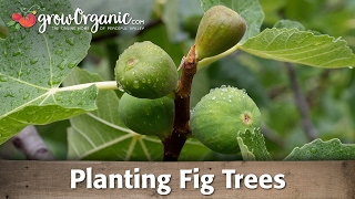 Planting a Potted Fruit Tree