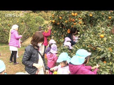 幼稚園と保育園ミカン狩り(宮崎県日南市)