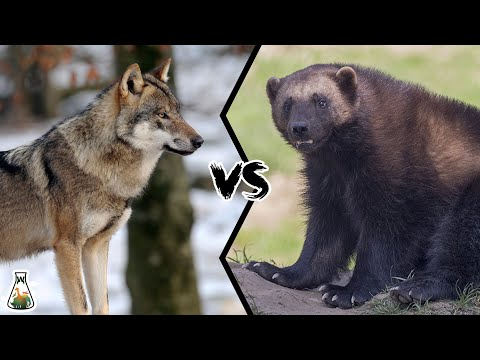WOLVERINE VS WOLF - Who will win a fight?