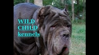 http://www.neapolitans.org Neapolitan Mastiff dogs and puppies.Wild Child Neapolitan Mastiffs (Mastino Napoletano, Mastini) - AKC Official Top Breeder AWARD; AKC Breeder of Merit AWARD! Many our mastini have AKC Official TOP awards; record hip score in the breed for all the time; elite healthy proven for many generations stock (famous World, International and AKC champions bloodlines, including ATIMANA and Trofeo Mario Querci Winners - annual World dog show level for the breed). Enjoy our Neapolitan Mastiff dogs and puppies, for more please visit Wild Child Neapolitan Mastiff website.This video includes: Champion CH Samson (Best-in-Show winner over all FCI breeds in 2001, AKC Top Neapolitan Mastiff Stud dog Award, Venerable Award; Akasha Queen (ATIMANA trophy - annual world championship dog show for Neapolitan Mastiffs); Champion CH Moloss Tumen Eva (R.Winners at 2005 Neapolitan Mastiff Nationals); tawny Ornella Lucky Eyes, blue Moloss Tumen Romina (best puppy at Neapolitan Mastiff Nationals in 2005); AKC Champion CH Wild Child Alaska ( #1 female dog in the country 2008 breed points, AKC top 10, Eukanuba Top 25, Award of Merit, AKC Top Brood female dog 2008; AKC Champion CH Wild Child Beautiful Bear (World dog show and ATIMANA 2007 trophy, # 2 Female dog in the country 2008 AKC breed points, AKC Top 10, Eukanuba Top 25; AKC Champion CH Wild Child Accapulca (1st place Best in AKC working group bred by exhibitor, # 3 Female dog in the country 2008 breed points, AKC Top 10, Eukanuba Top 25; AKC Champion CH Wild Child Verona (eukanuba Top 25); Wild Child Sunkissed Walker (AKC Top Neapolitan Mastiff Stud dog Awardfor the most number of reproduced puppies / dogs accomplished AKC Champion titles); National and International Champion CH Wild Child Boris Gustavo;Wild Child Panthera Leo Persica; Wild Child Venafro; Wild Child Benigno Otis; Wild Child Almaz; Wild Child Bona Lionessa; Moloss Tumen Nino; Centurian Mastini Phoenix Platino; Europa Wild Child; Gemma Wild Child; Sofia Wild Child; Wild Child Simba The Lion King; Wild Child Caesar; Wild Child Niva Valentina. Enjoy!