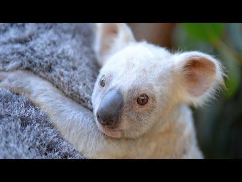 You Can Help Name This Rare White Baby Koala
