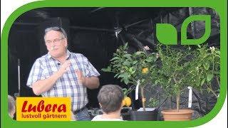 Geschichte der Citrus - Die Herkunft der