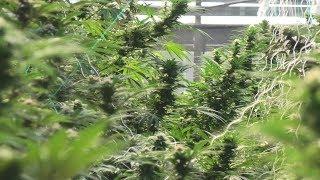 Amazing Greenhouse Cannabis Farm by Urban Grower