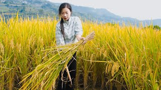 Rice - growing, maturing and cooking