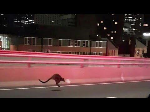 Wallaby stört Verkehr auf der Harbour Bridge in Syd ...