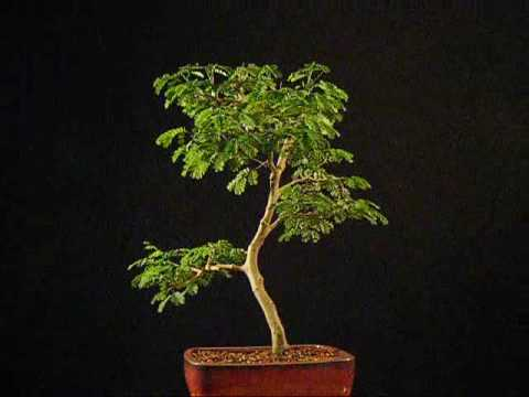 brazilian raintree - Brazilian Raintree Bonsai (pithecelobium tortum)
