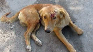 We got a call on our helpline to rescue a badly injured street dog in Udaipur, India. We were told that he had been hit by a car. He had injuries not only on his head and fore-arm, but his inner thigh had several deep lacerations that were bleeding. Just watch to see how happy he is after healing! Donate today to save injured street animals in India : www.animalaidunlimited.org/how-to-help/donate