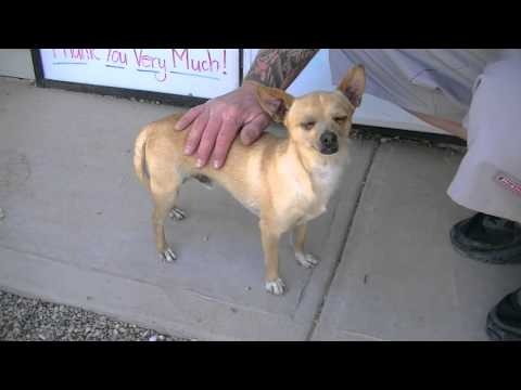 Sparky 3 yr. old Chihuahua Rifle Animal Shelter 970-625-8808