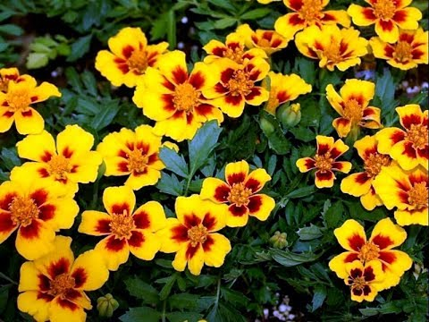 Amazing and Most Beautiful French Marigold Flowers Pictures
