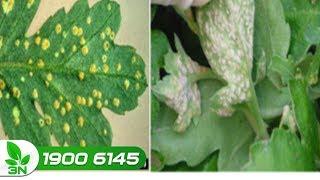 Trồng trọt | Côn trùng chích hút hại hoa cúc: Loại thuốc đặc trị