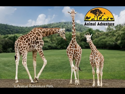 Giraffe Cam - Animal Adventure - April the Giraffe