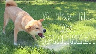 she loved playing with water on this hot day!Follow us on Facebook @ Haru The Shiba InuFollow us on Instagram @ HaruShibaInu