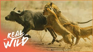Video Lions Behaving Badly [Lion Pride Documentary] | Wild Things MP3, 3GP, MP4, WEBM, AVI, FLV Desember 2018