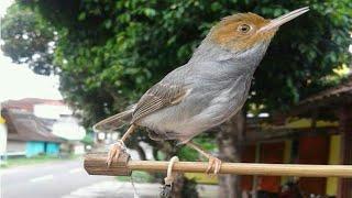 Download Video Prenjak gacor edan Milik om Arga Betabirdshop MP3 3GP MP4