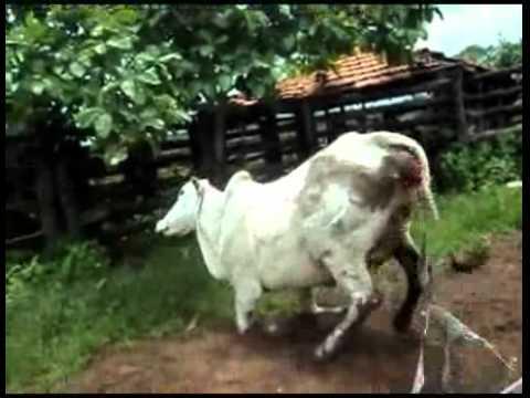 Woman kicked by Ninja Cow