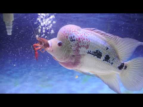 Flowerhorn - Flowerhorn eating two crawfish.