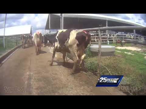 Third Florida dairy farm accused of animal abuse