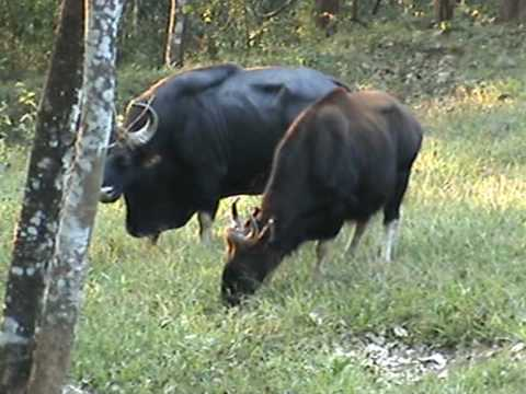 Gaurs(bos Gaurus) At Parambikulam Wildlife Sanctuary