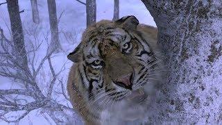 Taking the Tiger Mountain - Tiger Attack Scene HD