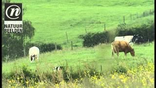 http://www.natuurbeelden.nl Snelstromend water van rivier de Geul in een Limburgs heuvellandschap met grazende koeien.