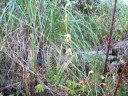Orquidea terrestre, Bletia roezlii