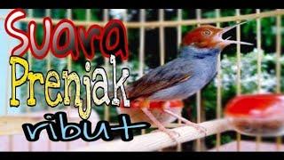 Download Video Suara PRENJAK RIBUT [tarung] | pikat burung prenjak | pancing bunyi prenjak bahan MP3 3GP MP4