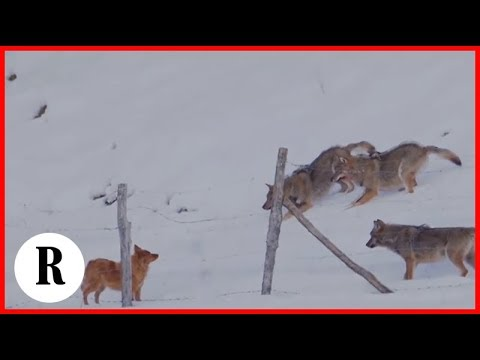 Dog escapes attack from 3 big wolves.. Abruzzo, Italy