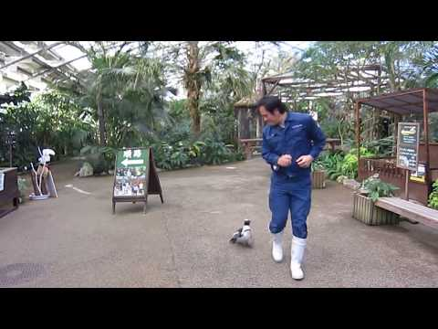 VIDEO: Baby Penguin chases zookeeper
