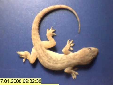 Time lapse – whole gecko eaten by ants in just a few hours!