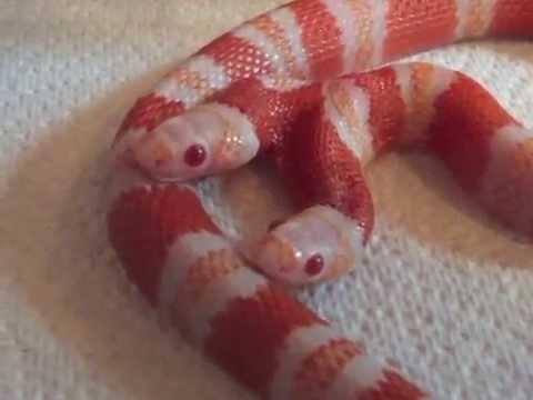 身價160萬的超罕見雙頭蛇,每到餵食的時候…大家都會看見讓人背脊發涼的一幕!