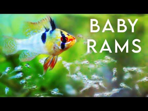Baby German Blue Rams!