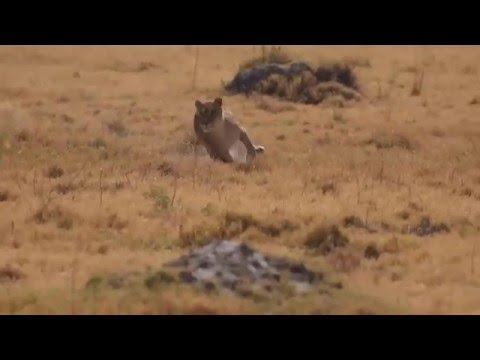Video Lionesses Hunting Warthog download in MP3, 3GP, MP4, WEBM, AVI, FLV January 2017